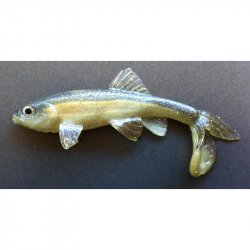 Little Creeper American Trash Fish Blueback Herring